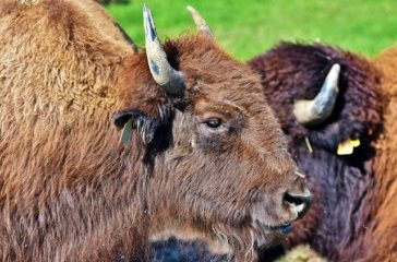 bison-3821338_640